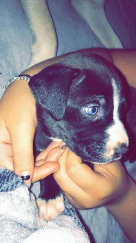 Lost Female Dog last seen gentry road , Silsbee, TX 77656