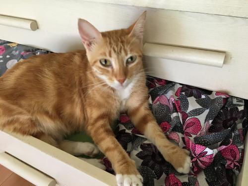 Lost Female Cat last seen Near Rayford Crest Dr , Spring, TX 77386
