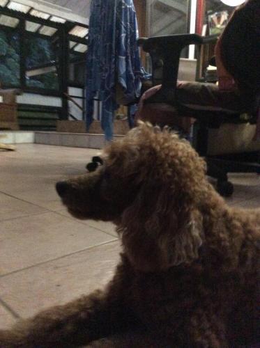 Found/Stray Male Dog last seen 3rd and Makuu Dr, Hawaiian Paradise Park, HI 96749