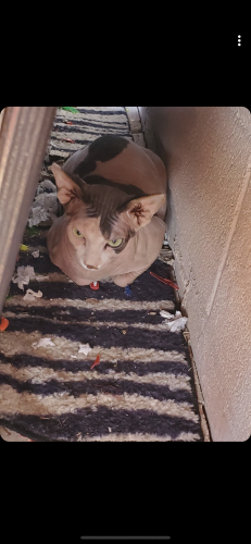 Found/Stray Unknown Cat last seen Recker and university , Maricopa County, AZ 85205
