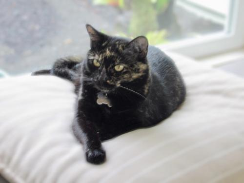 Lost Female Cat last seen Pueo'ihi Rd near Chinchuck, Hakalau, HI 96728
