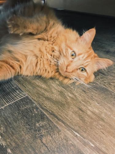 Lost Male Cat last seen South 16th Avenue , Phoenix, AZ 85045