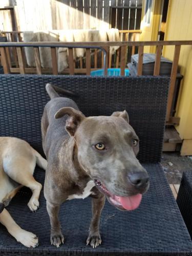 Lost Female Dog last seen Louetta / Country Lake Estates, Spring, TX 77388