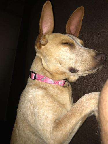 Lost Female Dog last seen Baseline and Meadow, Gilbert, AZ 85234