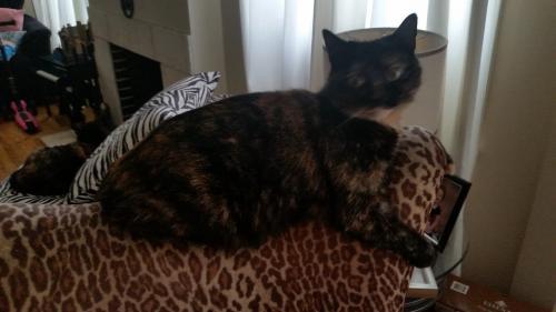 Lost Female Cat last seen Brockton and Nebraska, Los Angeles, CA 90025