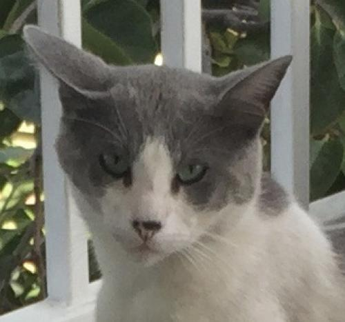 Found/Stray Male Cat last seen Lincoln, Anaheim, CA 92805