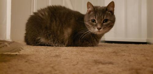 Lost Female Cat last seen Near Blades Street, Norfolk, VA 23503