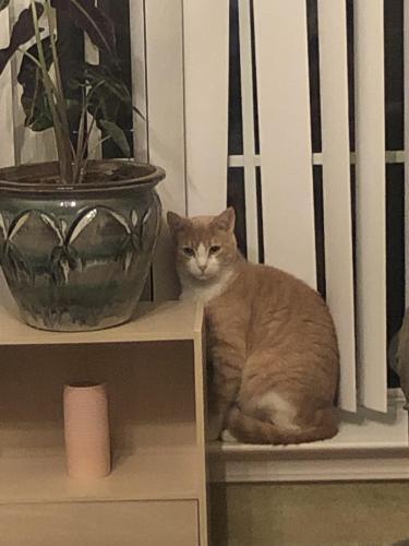 Lost Male Cat last seen Near West Chase Loop, Lumberton, TX 77657
