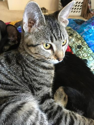 Lost Male Cat last seen Rosine St. and Bayou, Beaumont, TX 77707