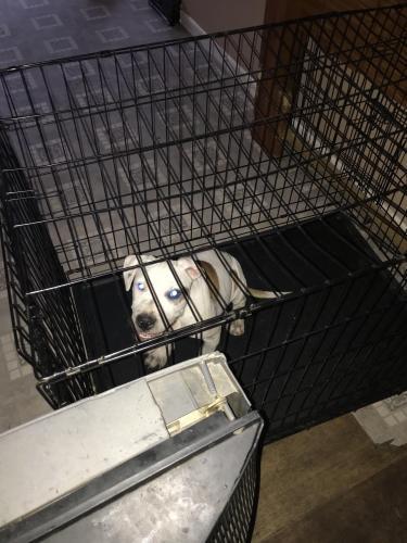 Lost Male Dog last seen Indiana & Benton, Kansas City, MO 64124