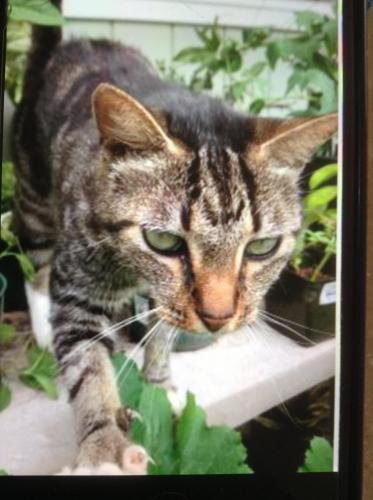 Lost Female Cat last seen Mauna Kea street, Mountain View, HI 96771