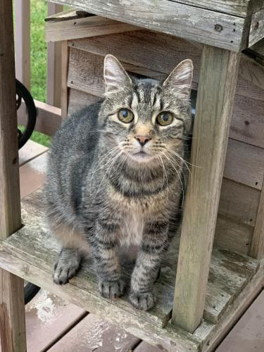 Lost Female Cat last seen Radnor Pl & Holloman Rd, Falls Church, VA 22042