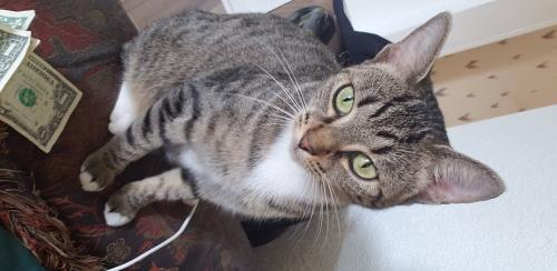Lost Female Cat last seen Peronne and cromwell, Norfolk, VA 23509