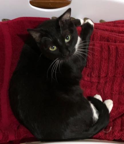 Lost Female Cat last seen René and 50th Street , Shawnee, KS 66216