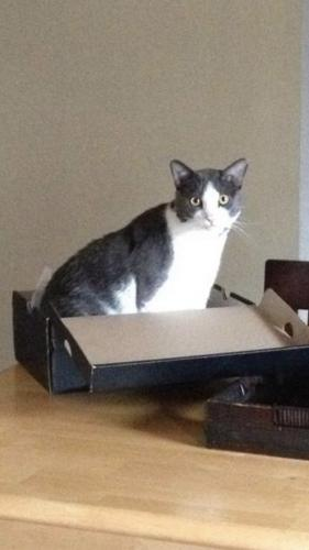 Lost Male Cat last seen Essex circle and Norview ave , Norfolk, VA 23513