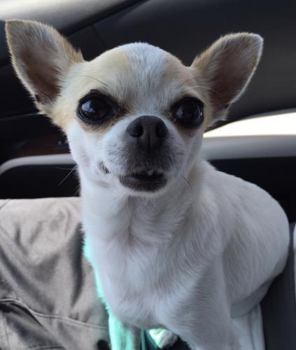 Lost Female Dog last seen Avenue 34 / Bushwick St. , Los Angeles, CA 90065