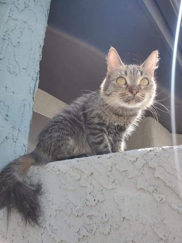 Lost Female Cat last seen 27th and Peoria, Phoenix, AZ 85029