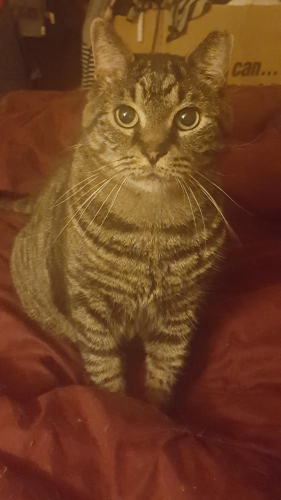 Lost Male Cat last seen 15th Ave and Kanawha St (off of University Blvd, E), Hyattsville,  MD, Hyattsville, MD 20783