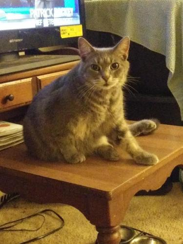 Lost Female Cat last seen Sunnybrook apartments across from 7 eleven, Chesapeake, VA 23324