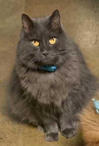 Lost Male Cat last seen Between Court and Dinwiddie Streets, Portsmouth, VA 23704