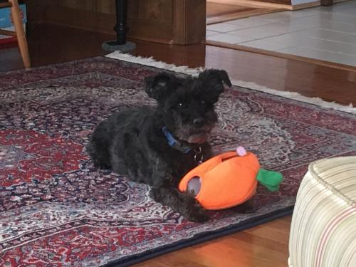 Lost Male Dog last seen Paula Maria Ct, Newport News, Newport News, VA 23606