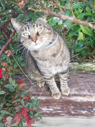 Lost Male Cat last seen Argonne ave & Cromwell drive, Norfolk, VA 23509