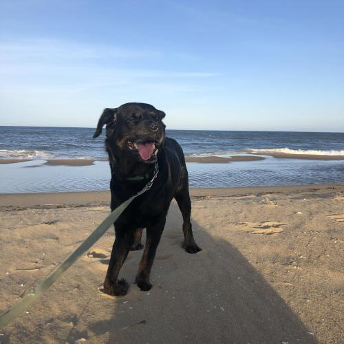 Lost Male Dog last seen Military highway , Chesapeake, VA 23320