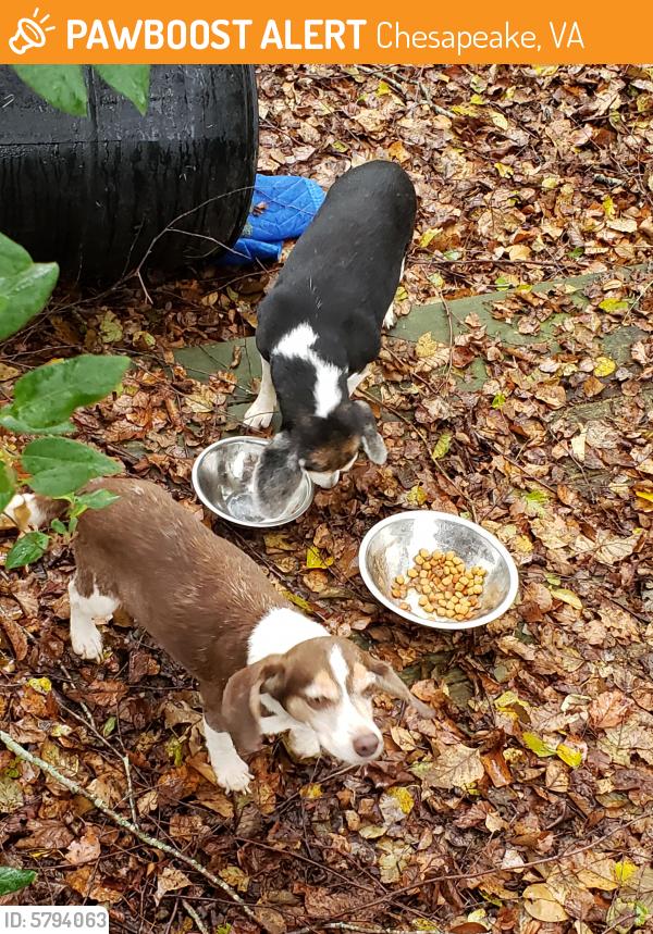 Surrendered Female Dog last seen Long Ridge Road and Beaver Dam Road , Chesapeake, VA 23322