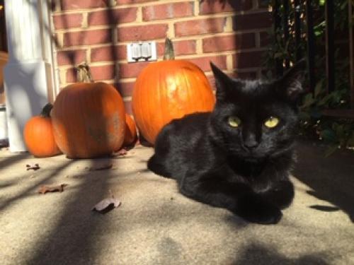 Lost Female Cat last seen Grammercy Terrace , Sterling, VA 20166