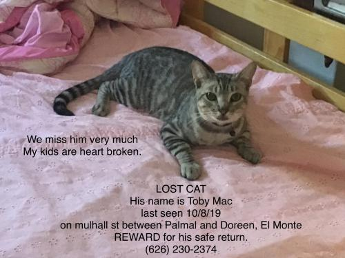 Lost Male Cat last seen Mulhall st and palmal , El Monte, CA 91731