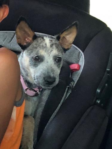 Lost Female Dog last seen Dork and Durfee st., Pico Rivera, CA 90660