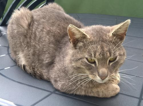 Lost Male Cat last seen Manchester and Figueroa, Los Angeles, CA 90044