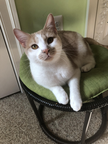 Lost Male Cat last seen St. Michaels and Florence Rd, Woodbine, MD 21797