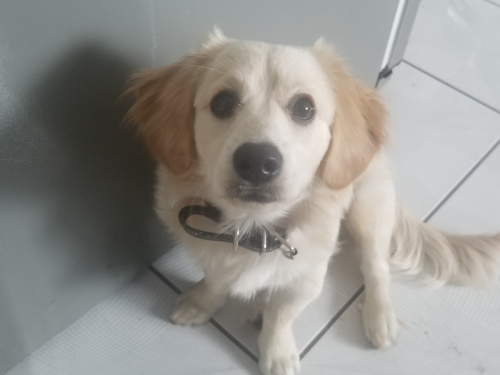Lost Male Dog last seen Virginia and Michigan Ave, South Gate, CA 90280