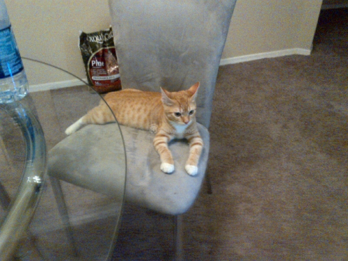 Lost Male Cat last seen 86th St and San Miguel Ave , Scottsdale, AZ 85250