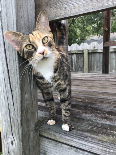 Found/Stray Female Cat last seen Near Plum Cres, Virginia Beach, VA 23453