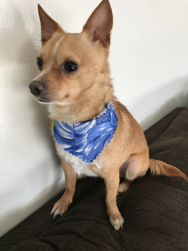 Lost Male Dog last seen Heliotrope/57th st, Maywood, CA 90270