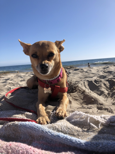 Lost Female Dog last seen Colfax and Moorpark , Los Angeles, CA 91607