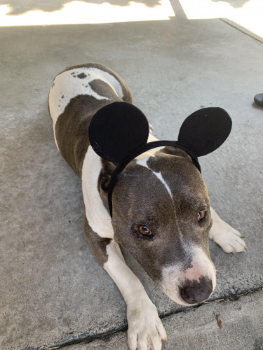 Lost Female Dog last seen Gage Ave , Bell, CA 90201