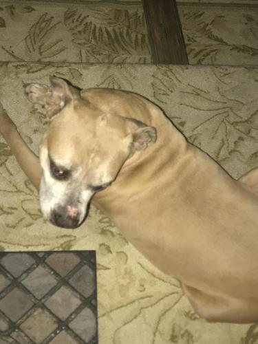 Found/Stray Female Dog last seen Remington Ranch , Houston, TX 77073
