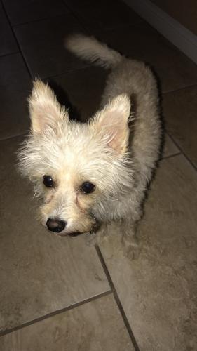 Lost Male Dog last seen Southern and Macdonald , Mesa, AZ 85210
