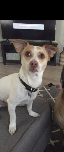 Lost Male Dog last seen Mcadden and melrose , Los Angeles, CA 90028