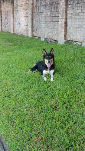 Found/Stray Female Dog last seen Willow leaf , Houston, TX 77090