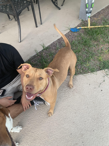 Found/Stray Female Dog last seen At Elliot's crossing apartments off of kyrene rd and Elliot rd, Tempe, AZ 85283
