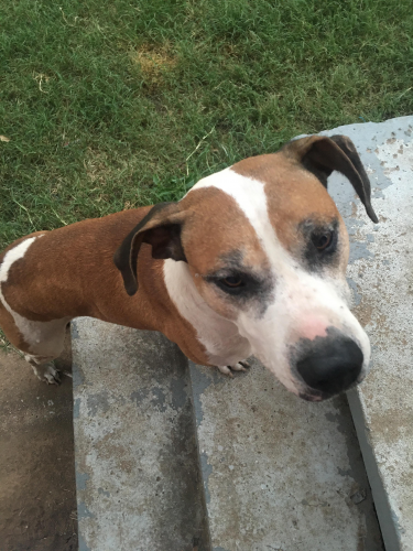 Lost Male Dog last seen Mahler Place and Britton Rd, The Village, OK 73120