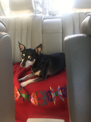Lost Male Dog last seen Inglewood and Weir, Culver City, CA 90230