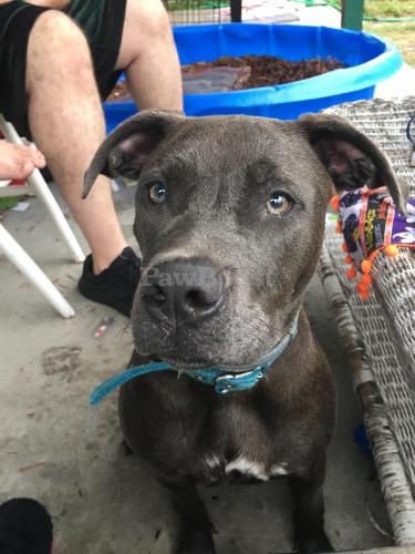 Lost Female Dog last seen Velva drive, Chesapeake, VA 23325