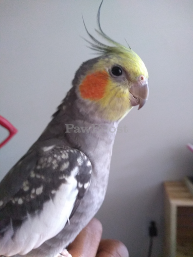 Lost Male Bird last seen Turnberry Blvd and Jefferson Ave, Newport News, VA 23602