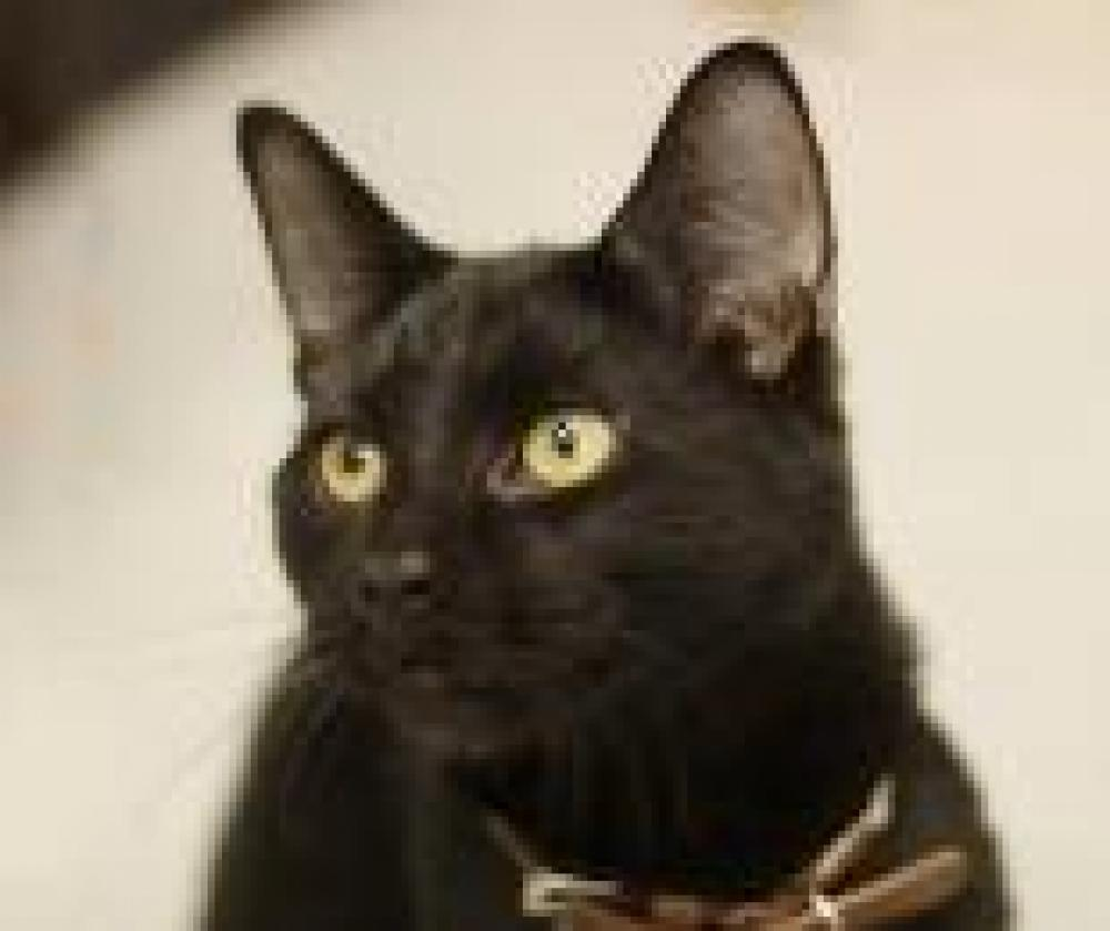 Shelter Stray Male Cat last seen , Brook Park, OH 44142