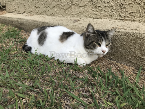 Found/Stray Unknown Cat last seen Near washington place (at Coolidge), Los Angeles, CA 90066